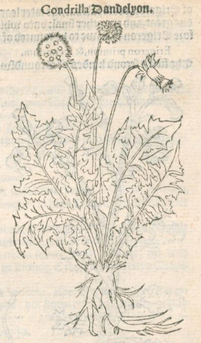 Condrilla Dandelyon in A Niewe Herball, Or Historie of Plantes (1578).PNG