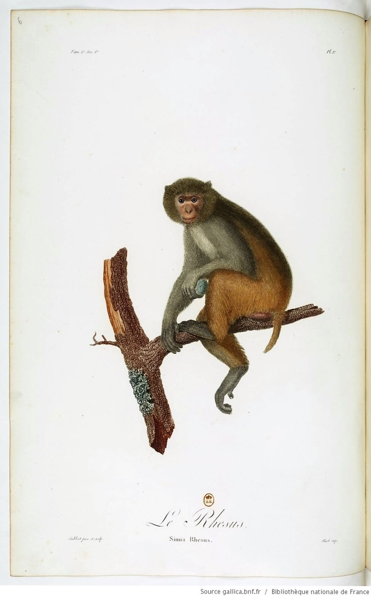 le-rhesus-simia-rhesus-illustration-by-jean-baptiste-audebert-for-his-treatise-histoire-naturelle-des-singes-et-des-makis-1798-99