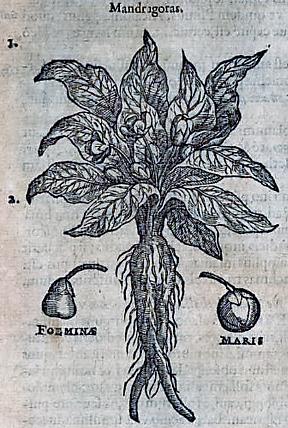 mandragoras-from-stirpium-historiae-pemptades-sex-sive-libri-xxx-1583-by-rembert-dodoens