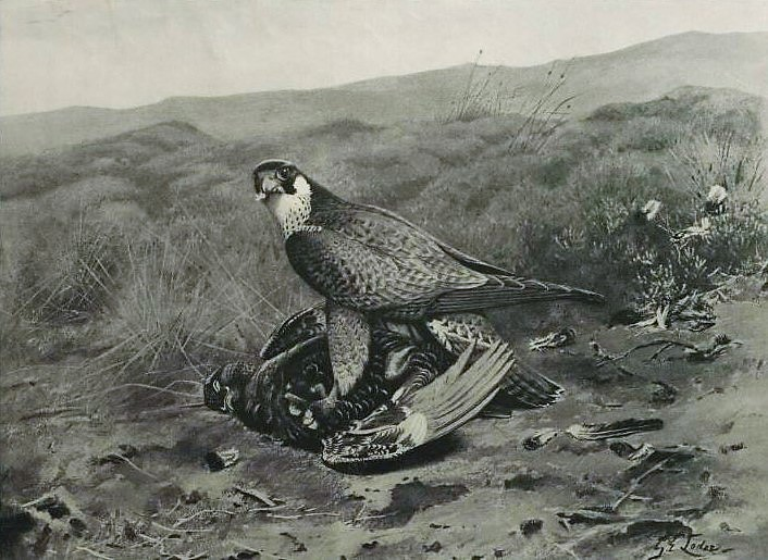'red in tooth and claw' - hawk killing a grouse - Illustrated London News - 9 August 1902