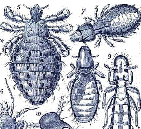 coot louse - One Thousand Objects for the Microscope (1869) - M. C. Cooke